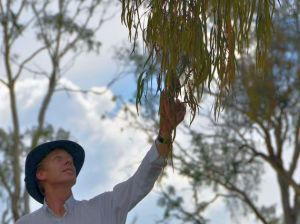 Armidale Dumaresq Council senior officer Richard Morsley inspects one of the destructive mistletoes at the Arboretum.