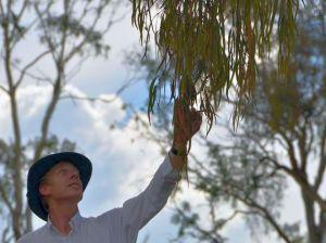 Armidale Dumaresq Council senior officer Richard Morsley inspects one of the destructive mistletoes at the Arboretum.