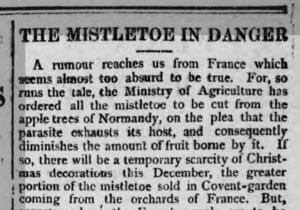 A report in the Northern Echo in December 1895, worrying that French mistletoe control measures would reduce Christmas supplies in the UK