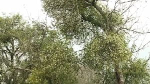 Mistletoe-overgrowth on apple trees. For more views of these particular trees click this caption.