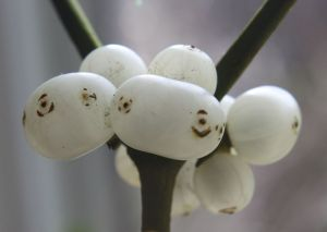 Fused mistletoe berries