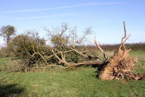 Mistletoe-laden Apple Tree downed in recent storms