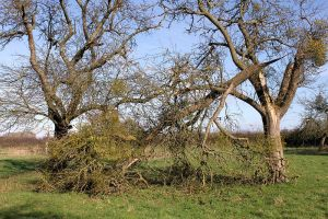 Another mistletoe-laden Apple Tree damaged in recent storms