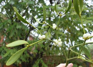 Mistletoe, late October 2014. Loadsa berries, and white already