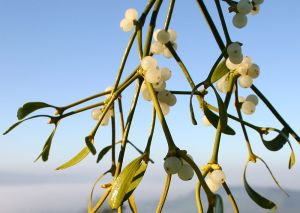Mistletoe berries - ripening to a translucent white in mid-winter, allowing light to reach the single seed inside...