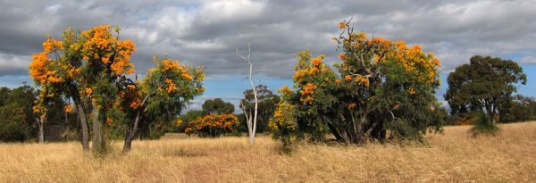 Nuytsia floribunda in the wild, a picture by enjosmith