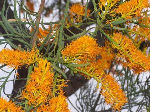 Nuytsia flowers, a picture by Gnangarra