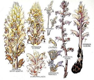 Various species of Orobanche, the Broomrapes, which parasite the roots of their host plants. Ivy Broomrape is on the right.,