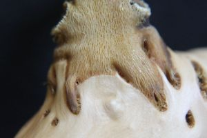 Close-up of a haustorium, showing the host wood (smooth solid surface) and the mistletoe wood (open, lattice-like surface)