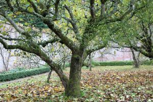 Llanerchaeron - mistletoe on apple trees in the walled garden