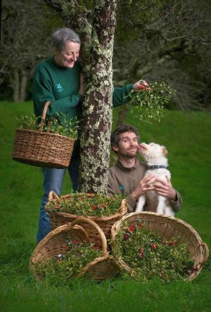 Chris Groves, gardener at NT Cotehele, Cornwall, with this year's mistletoe crop.