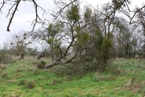 One of the trees in the GOT orchards with too much mistletoe - so much that, in this case, it has been blown over, probably because of the mistletoe