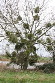 The riverside Poplar next to the orchards, covered in mistletoe growths.