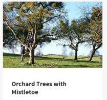 orchardmtoe