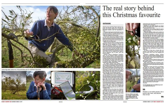 A recent feature about mistletoe, mistletoe berries, seeds and the growing season, from West Country Life, the Western Daily Press Saturday Magazine.