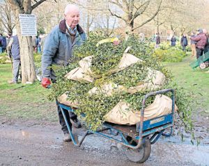 "From the Daily Telegraph, 29th November: ""A buyer carries bundles of mistletoe away after the first Christmas holly and mistletoe auction of the season in Tenbury Wells, Worcs, an event 160 years old"""
